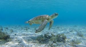 Lions Diving Turtle Curacao   Skräddarsydda Indcen Resor